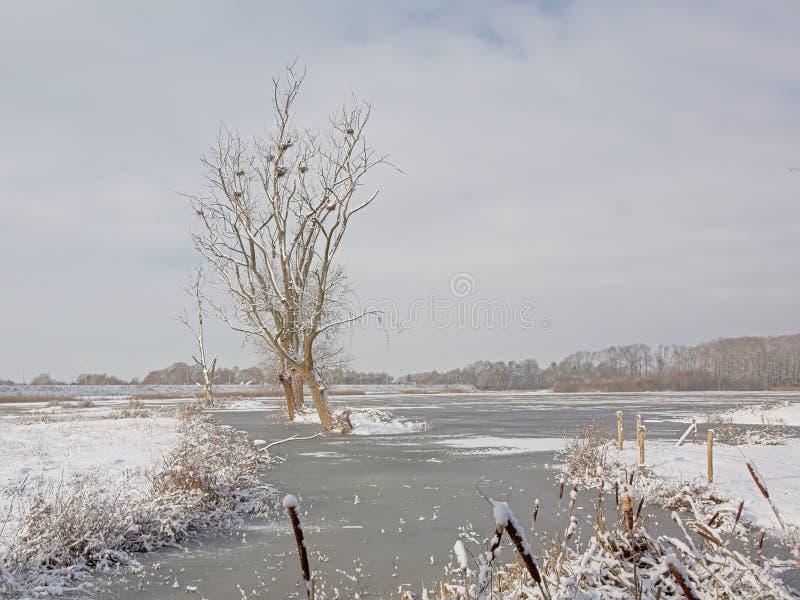 Träsklandskap och täckt i snö och pöl med det döda trädet med kormoranreden royaltyfri foto