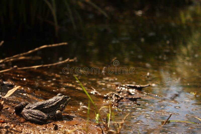 Träskpadda royaltyfri foto