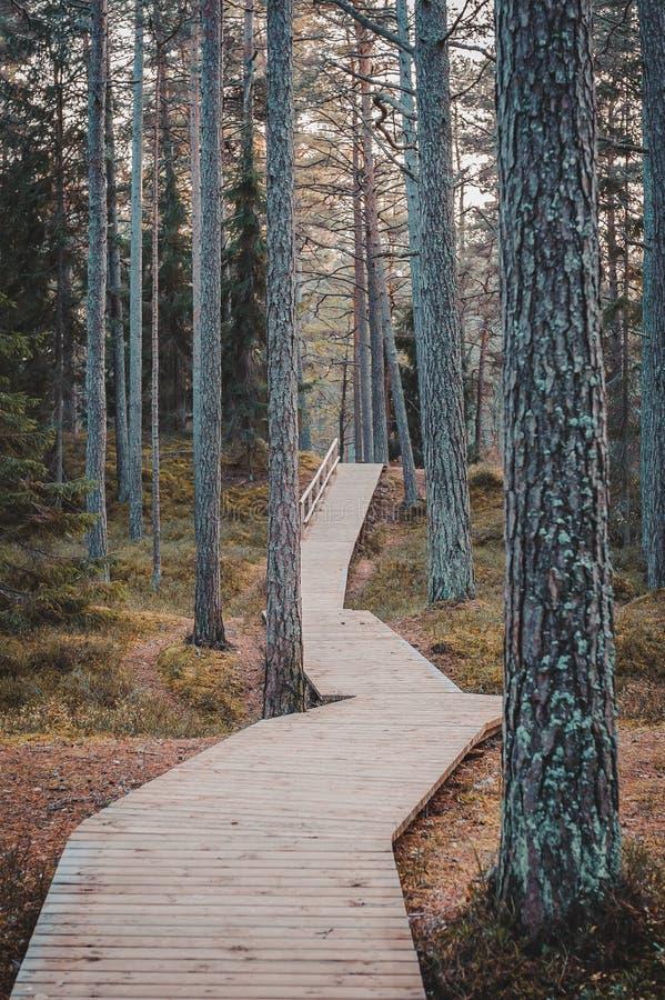 Trästrandpromenad i pinjeskoghöstlandskap royaltyfri fotografi
