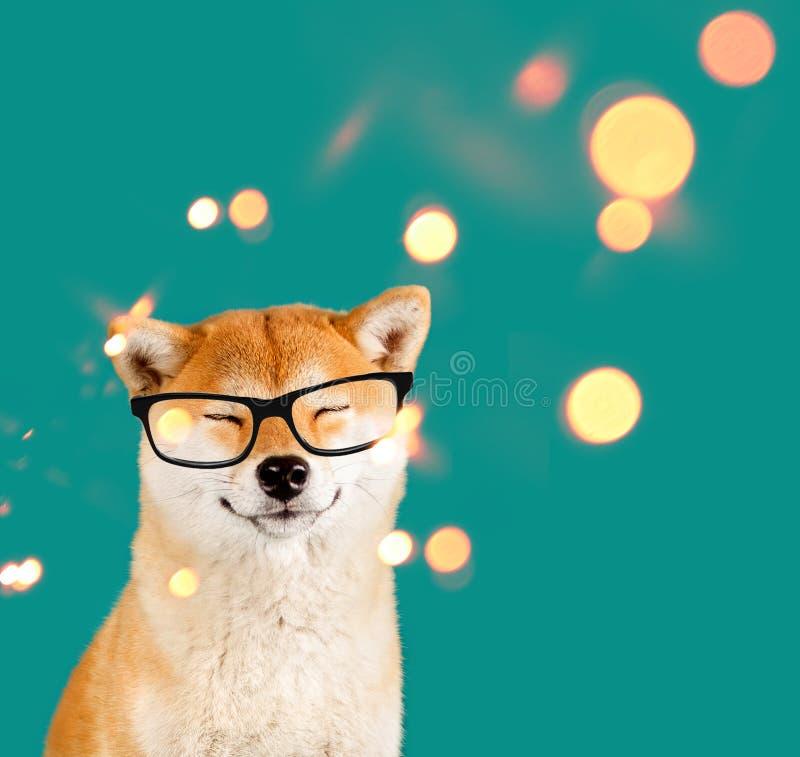 Träumen glücklichen Akita-inu Hundes mit den schwarzen Gläsern, die auf grünem Hintergrund mit Scheinen sitzen stockfoto