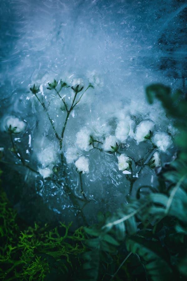 Träumerische gefrorene Rosen im Blau stockbilder
