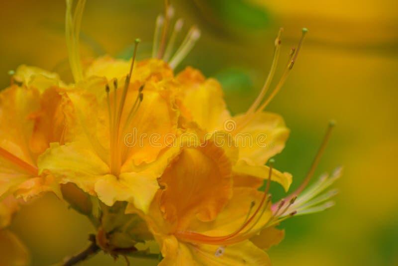Träumerische gelbliche orange Flammen-Azalee lizenzfreies stockfoto