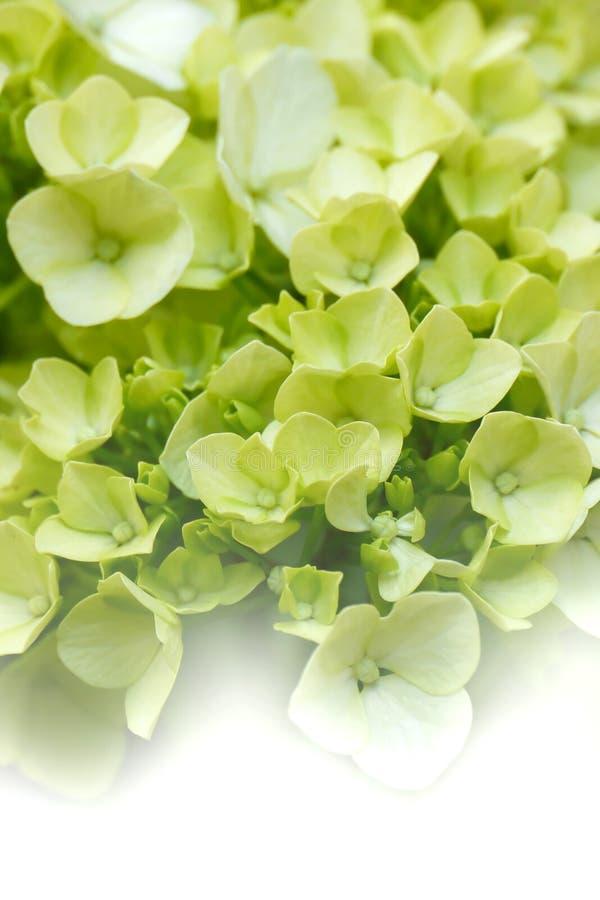 Träumerische Hydrangeas lizenzfreie stockfotografie