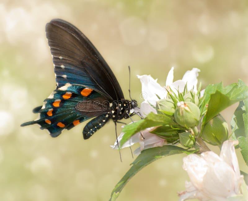 Träumerisches Bild einer Pipevine Swallowtail Basisrecheneinheit lizenzfreie stockfotos