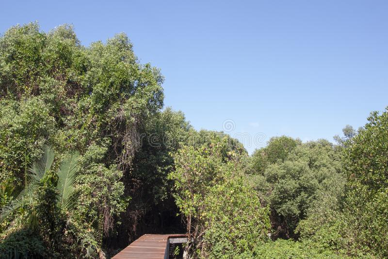 Trävandringsled i mangroveskogen royaltyfria bilder
