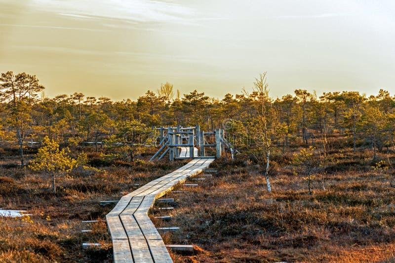 Trävandringsledet på myren med höst färgade flora av Kemeri stor träskvåtmark i den Kemeri nationalparken, Jurmala, Lettland, royaltyfri fotografi