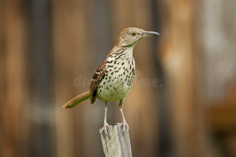 trävuxen trast för fågelsittinginsats royaltyfri fotografi