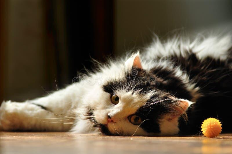 tråkig katt royaltyfria foton