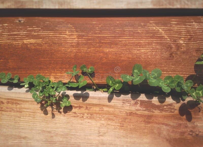 tråkmånsen av gräset ska sära till och med plankorna av staketet, växten av släktet Trifolium för fyra blad arkivbilder