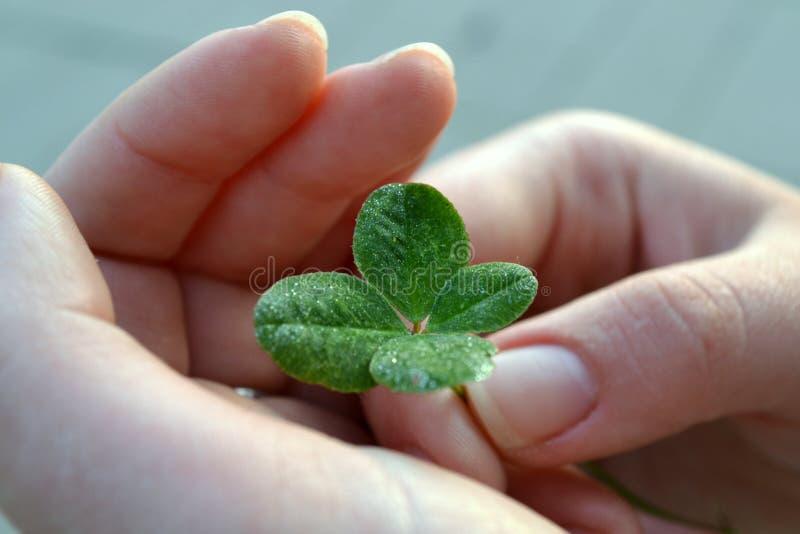 Trèfle à quatre feuilles dans les mains des femmes image stock