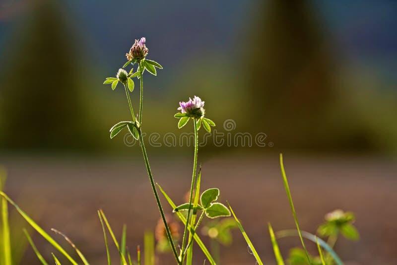 Trèfle, fleur, oxalide petite oseille, minette, éclairée à contre-jour par le soleil photos stock