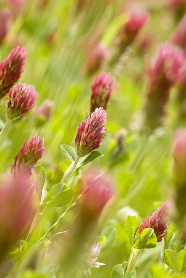 Trèfle incarnat (incarnatum de trifolium) photo libre de droits
