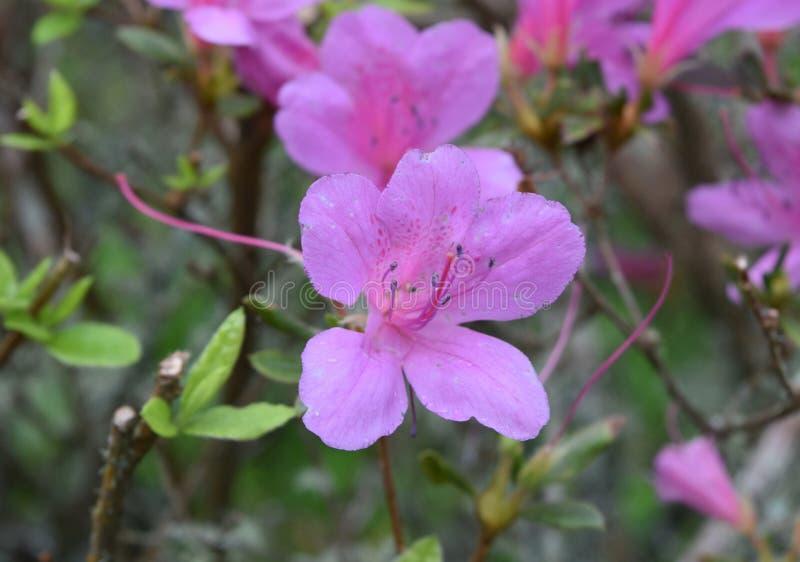 Très assez Pale Pink Azalea Flower Blossom dans un jardin image libre de droits