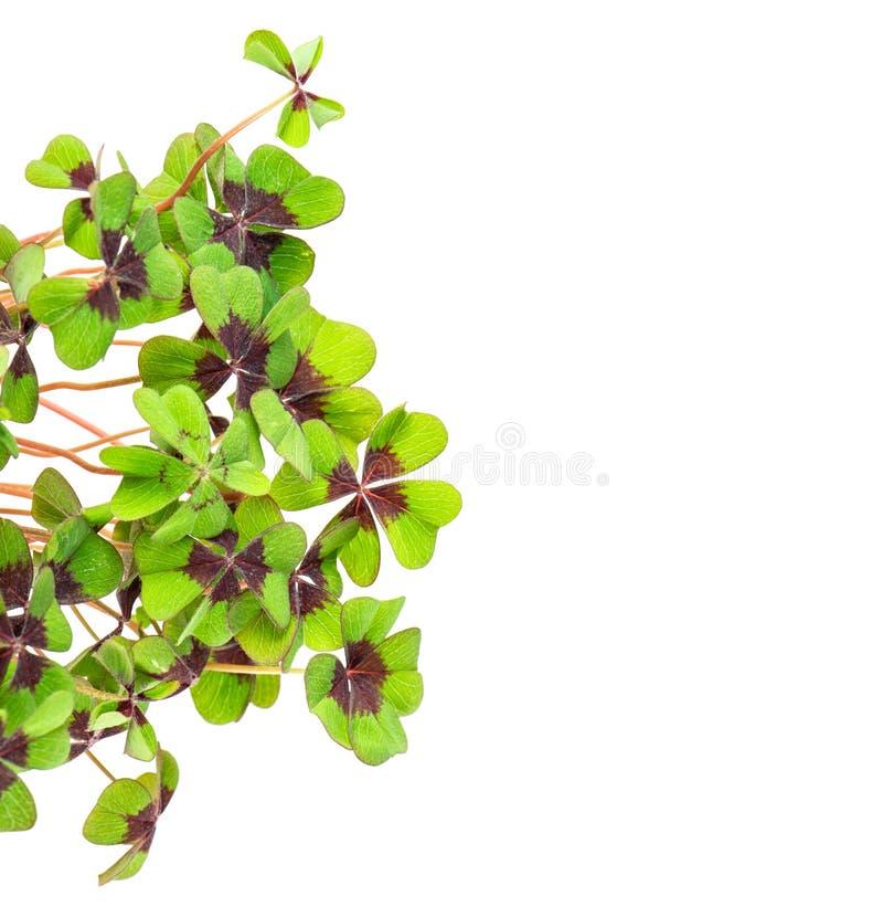 Trébol con hojas cuatro verdes frescos foto de archivo