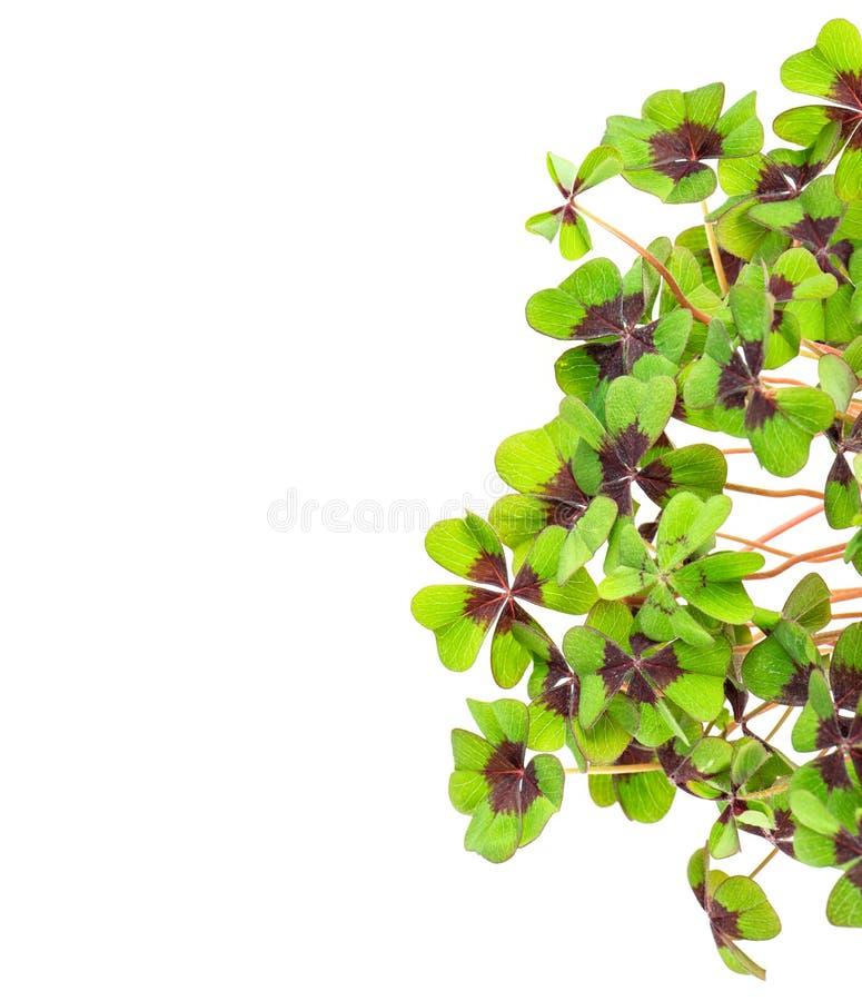 Trébol con hojas cuatro verdes frescos foto de archivo libre de regalías