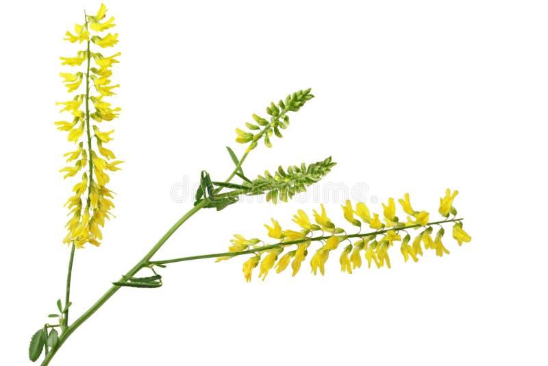 Trébol dulce amarillo fotografía de archivo libre de regalías