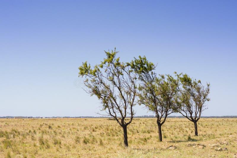 Três árvores em uma paisagem seca, desencapada, vazia com grama amarela e em um céu sem nuvens azul foto de stock