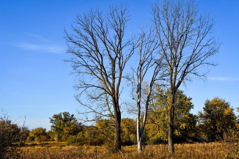 Três árvores inoperantes na paisagem de Wisconsin foto de stock