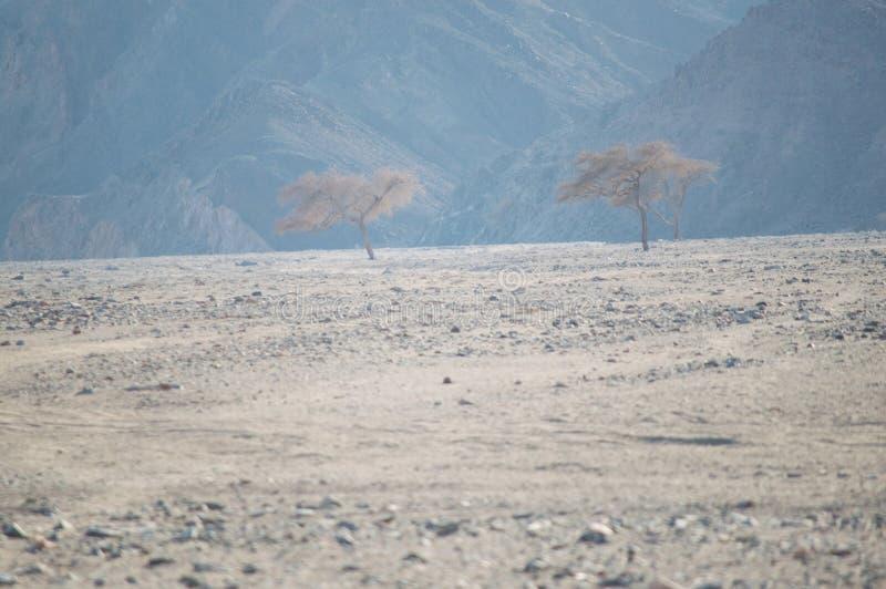 Três árvores no deserto fotografia de stock royalty free