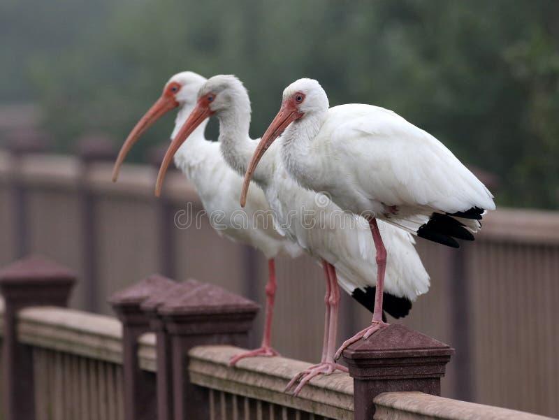 Três íbis brancos fotografia de stock royalty free