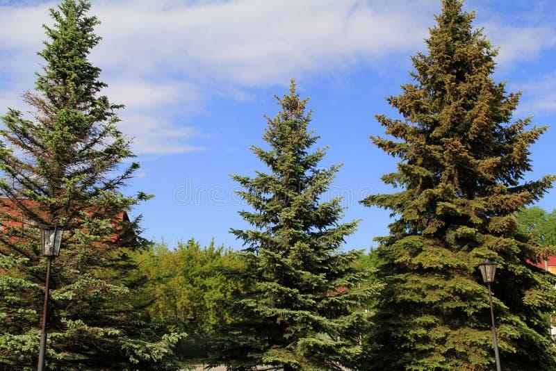 Três abetos azuis grandes no parque imagem de stock royalty free