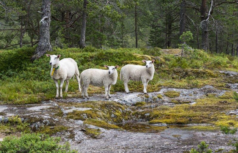 Três animais dos carneiros na natureza em Noruega imagem de stock
