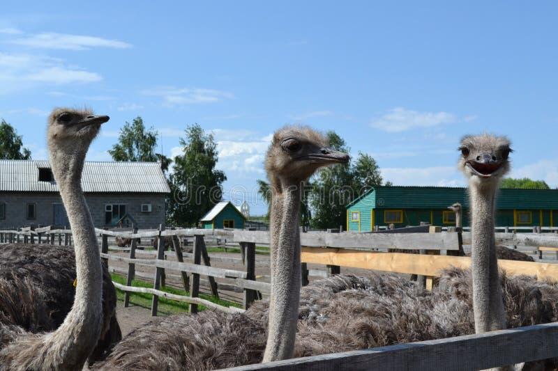 Três avestruzes felizes fotos de stock royalty free