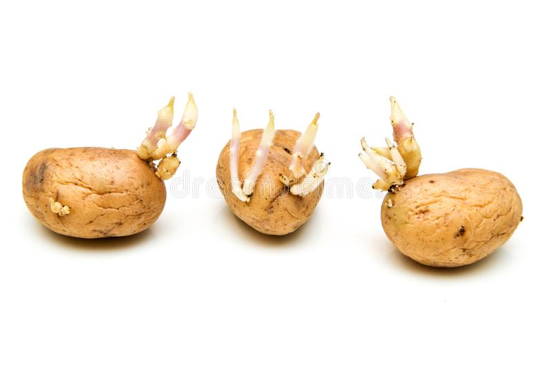 Três batatas da germinação com enxertos imagem de stock
