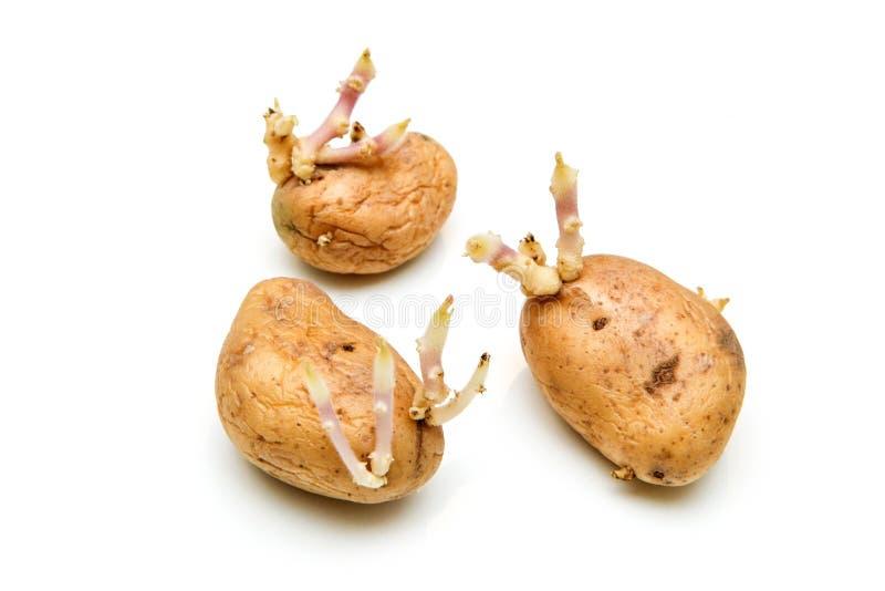 Três batatas da germinação com enxertos fotografia de stock royalty free