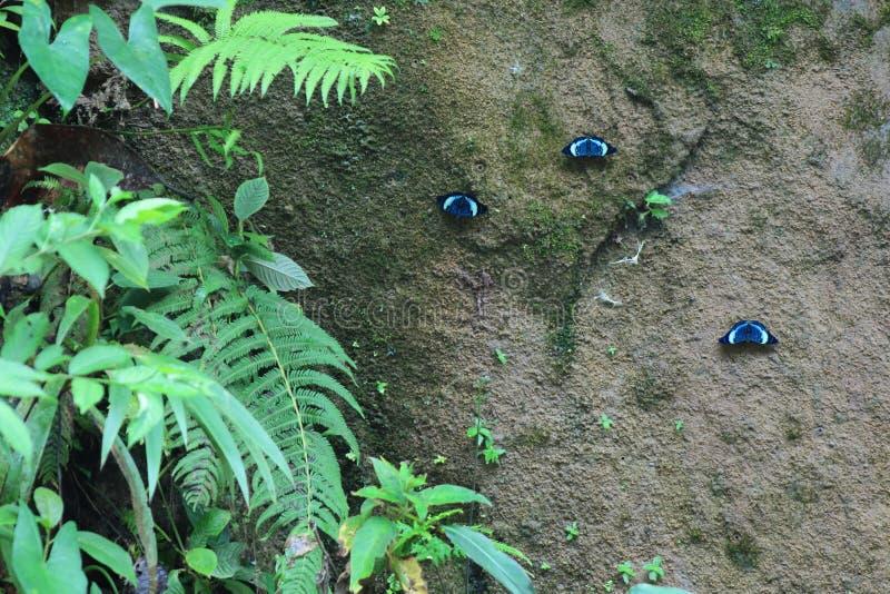 Três borboletas azuis em uma parede da argila ao lado das folhas verdes foto de stock royalty free
