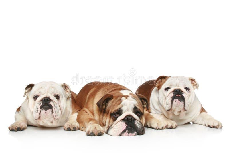 Três buldogues ingleses em um fundo branco foto de stock