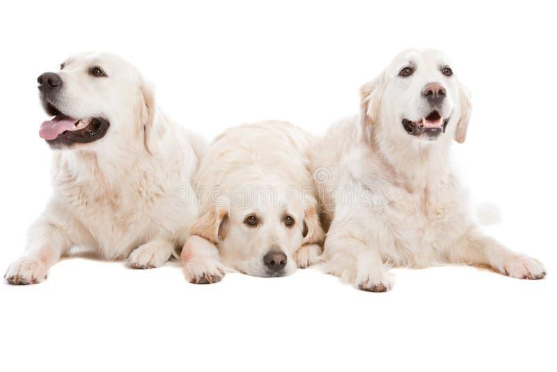 Três cães