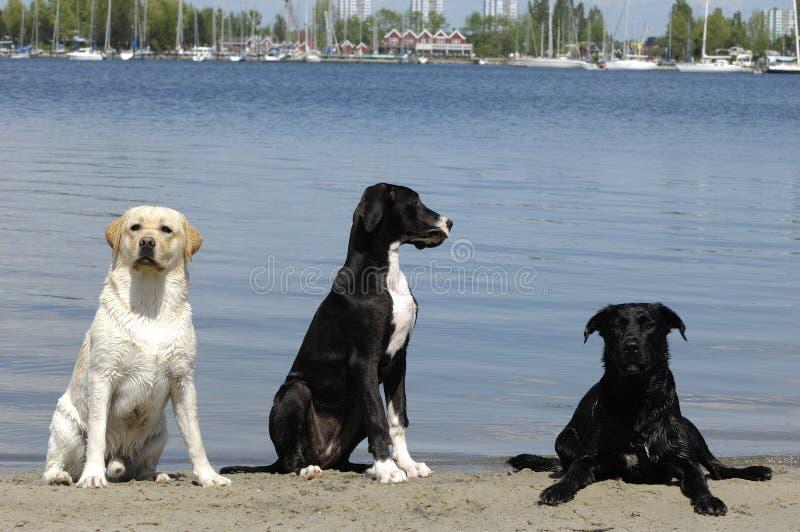 Três cães foto de stock