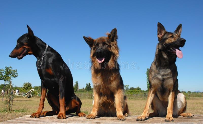 Três cães imagem de stock royalty free