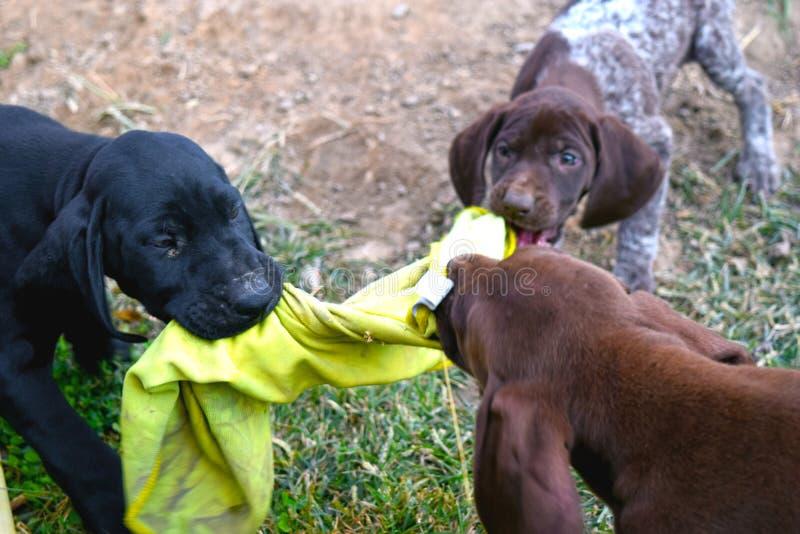 Três cães bonitos do ponteiro que correm e que jogam junto fora