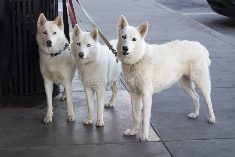Três cães brancos bonitos com os olhos azuis do gelo amarrados a um balde do lixo fora de uma loja quando suas lojas mestras - ol fotos de stock