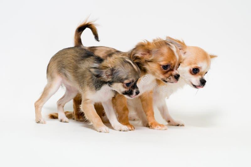 Três cães da chihuahua da raça imagens de stock