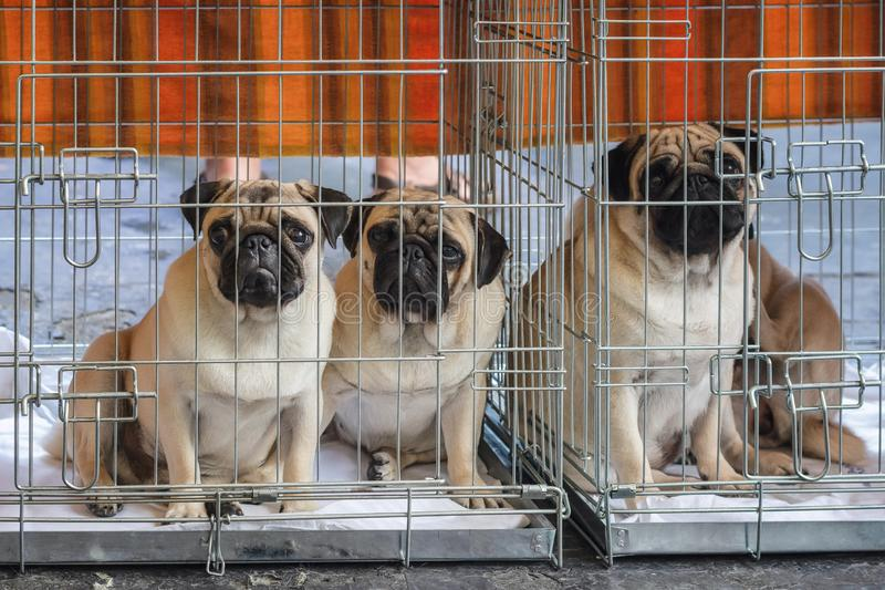 Três cães de vista lamentáveis do pug prendidos em seu banco durante foto de stock royalty free