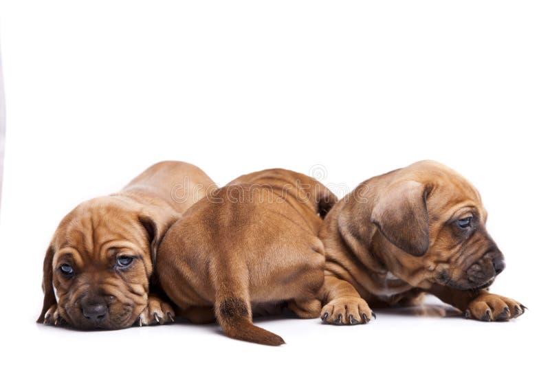 Três cães felizes no fundo branco fotografia de stock royalty free