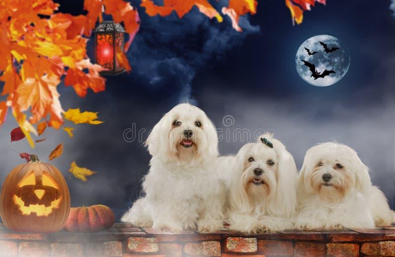 Três cães malteses em Dia das Bruxas fotografia de stock royalty free