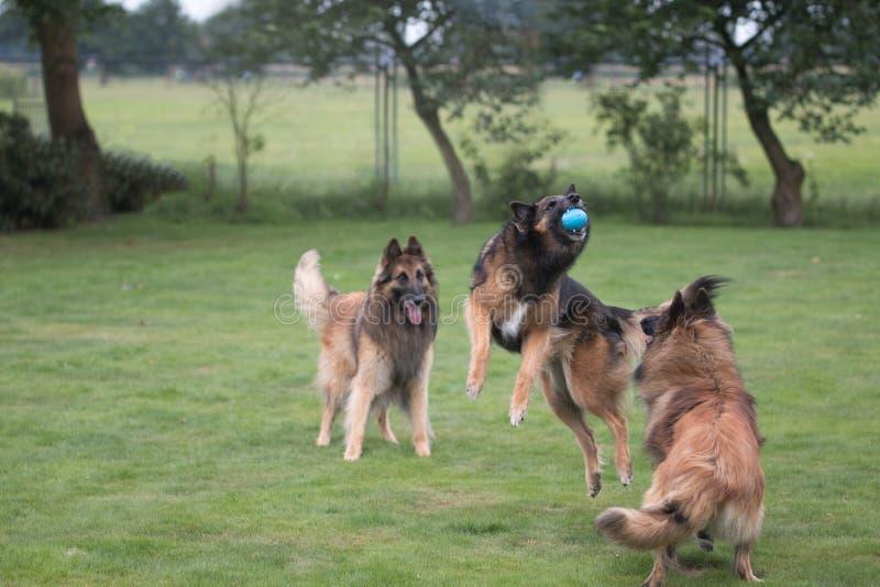 Três cães que travam a bola na grama foto de stock royalty free