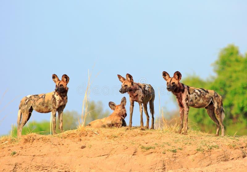 Três cães selvagens com um céu azul vibrante e um fundo verde do arbusto que estão de vista parque nacional do luangwa alerta, su fotos de stock royalty free