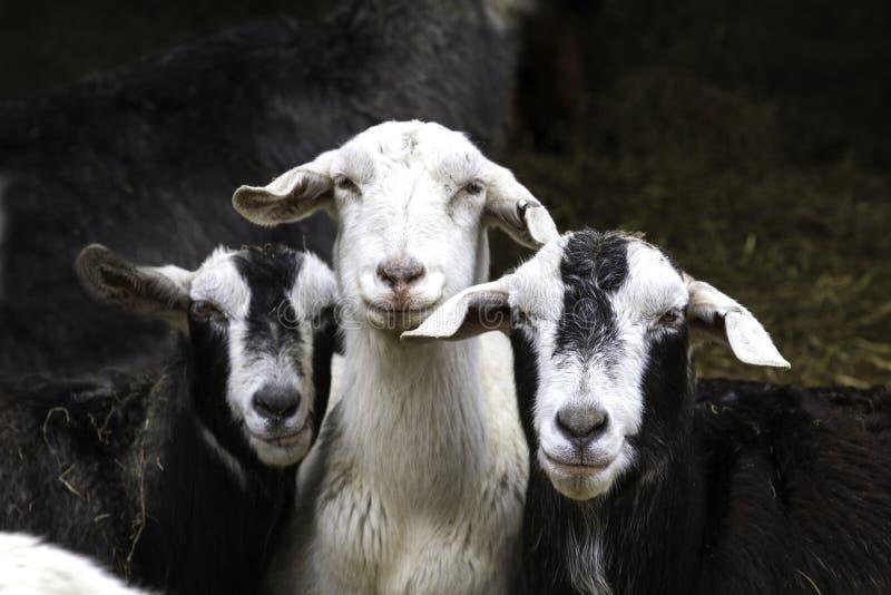 Três cabras fotografia de stock royalty free