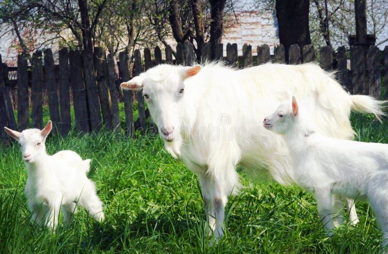 Três cabras brancas que estão entre a grama verde fotografia de stock royalty free