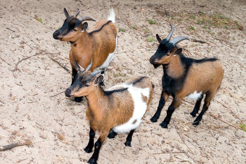 Três cabras curiosas fotos de stock royalty free