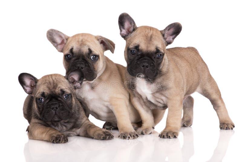 Três cachorrinhos do buldogue francês imagens de stock royalty free