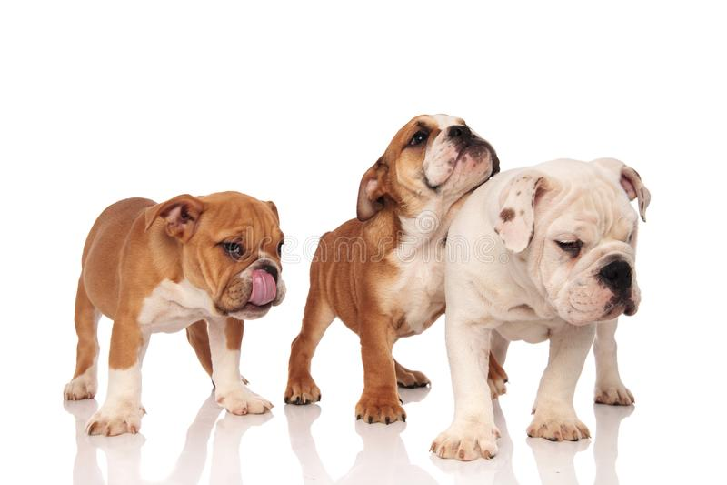 Três cachorrinhos ingleses dos buldogues que estão junto imagem de stock royalty free