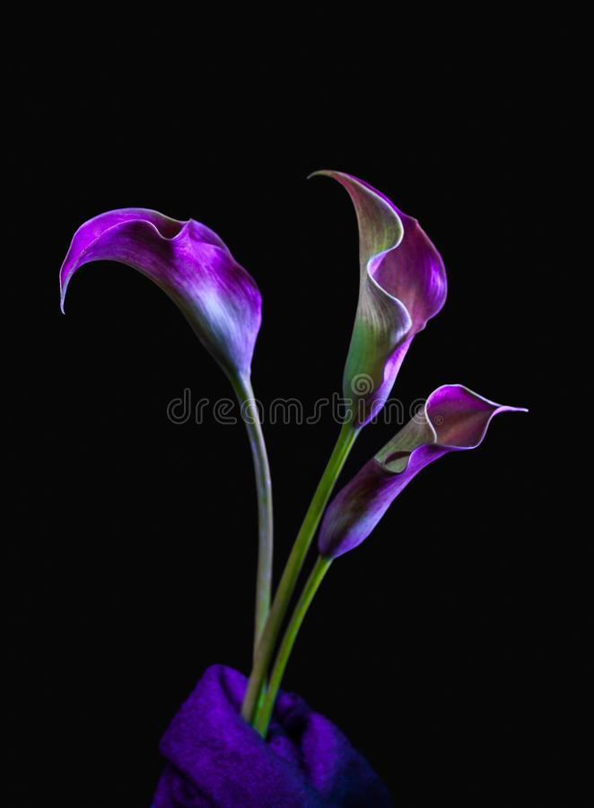 Três Calla roxo e cor-de-rosa Lillies no fundo preto imagem de stock