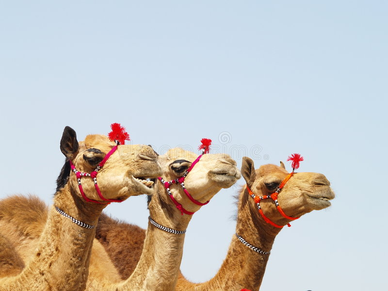 Três camelos imagem de stock royalty free