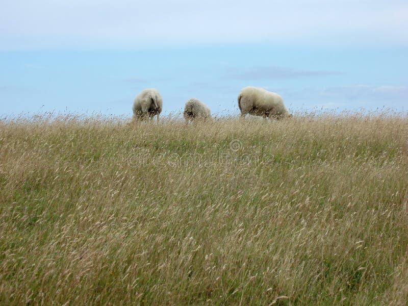 Três carneiros imagens de stock